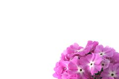 Many beautiful pink flowers Royalty Free Stock Image