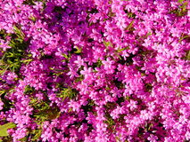 Many beautiful pink flowers background / wallpaper royalty free stock photography