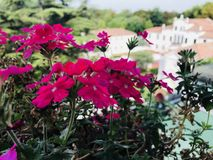 Pink flowers on a balcony royalty free stock photos