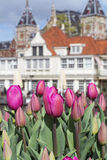 Many beautiful pink tulips with old european buildings as background. In the day in Amsterdam Stock Photos