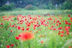 Many beautiful poppies Royalty Free Stock Photos