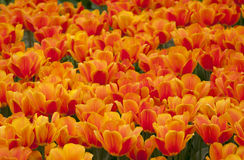 Many beautiful red and orange tulips. Which bloom outdoors Royalty Free Stock Photos