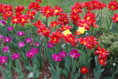 Many beautiful red and purple tulips in flower garden Royalty Free Stock Image