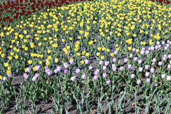Many beautiful red, yellow and pink tulips in flower garden Stock Photos