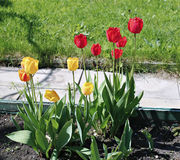 Many beautiful red and yellow tulips in flower garden Stock Photos