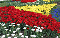Many beautiful red, yellow and white tulips and blue muscari in. Flower garden in spring Royalty Free Stock Image