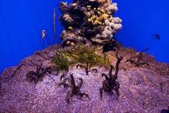 Many beautiful sea horses underwater in aquarium. stock image