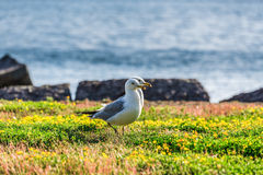Many beautiful seagulls Royalty Free Stock Photography