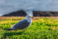 Many beautiful seagulls Royalty Free Stock Image