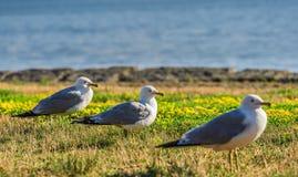 Many beautiful seagulls Stock Photos
