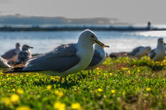 Many beautiful seagulls Stock Photo