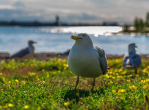 Many beautiful seagulls Stock Photography