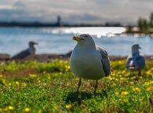 Many beautiful seagulls Stock Photography