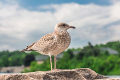 Many beautiful seagulls Stock Image