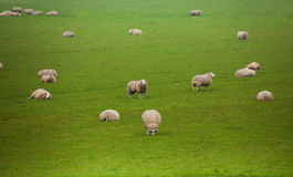 Many beautiful sheep pasture in the green field Royalty Free Stock Photos