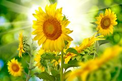 Many beautiful sunflowers in the meadow closeup Royalty Free Stock Images
