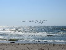 White swans flying over sea, Lithuania Stock Image