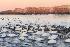 Many beautiful swans Stock Images