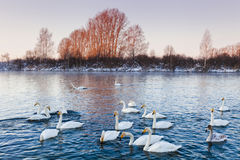 Many beautiful swans Stock Photography