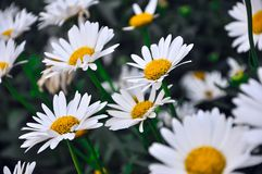 Many beautiful white with yellow daisies grow in the summer garden royalty free stock photography