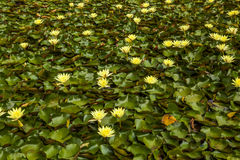 Many beautiful yellow flowers of lotus. Stock Image