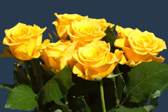 Many beautiful yellow roses isolated on blue closeup Royalty Free Stock Photography