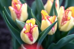 Many beautiful yellow tulips on a bed in the garden royalty free stock photo