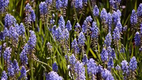 Many bees and blue muscari armeniacum flower blooming in the garden. There are many flowers blooming in The 14th Annual Chiang Rai Flowers Festival display at stock video footage