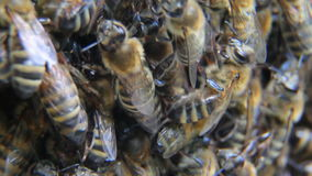 Many bees of bringing honey on honeycomb stock video