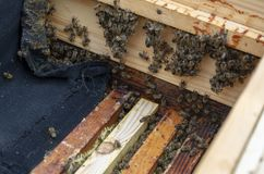 Many bees close-up in the photo. The beekeeper is working royalty free stock photos