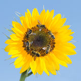 Many bees collecting nectar on a sunflower against the sky Stock Photos