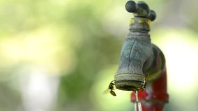 Many Bees Gathering Water at Dripping Faucet stock footage