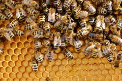 Many bees on a honey cell Royalty Free Stock Photos