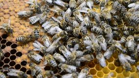 Many bees on the honeycomb stock footage