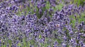 Many Bees In Lavender Flowers Stock Photos