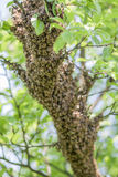 Many bees on tree. A lot of bees sitting on tree Royalty Free Stock Photo