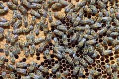 Many bees Stock Image