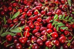 Many berries cherries under sunlight. Stock Photos