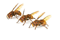 Many big dangerous hornet Stock Images