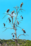 Many big pelican on tree Stock Photos