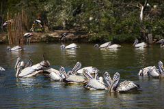 Many big pelican Royalty Free Stock Photos