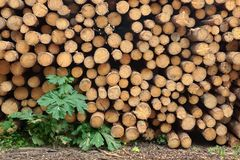 Many Big Pine Wood logs In Large Woodpile Background Texture Royalty Free Stock Photography