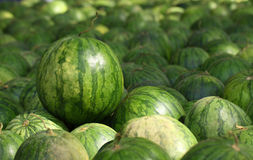 Many big sweet green watermelons Royalty Free Stock Photos