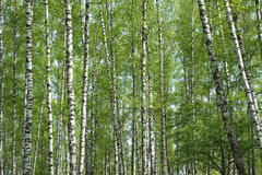 Many birch branches blossom in spring Stock Image