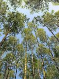 Many birch trees and blue sky in the forest Stock Images