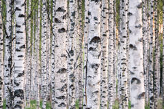 Many birch trees in the forest in the daytime Stock Images