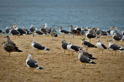 Many Birds in the Beach Stock Image