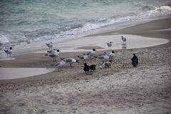 Seagulls by the sea royalty free stock image