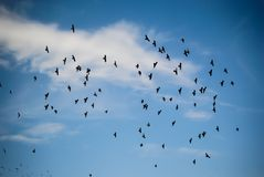 Many birds in the sky. Many birds in the blue sky during the summer or spring hot weather, clouds in the sky stock photos