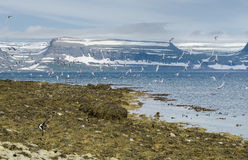 Many birds in flight and the mountainous Westfjords peninsula of Northwestern Iceland viewed from Vigur Island, Iceland Stock Photo